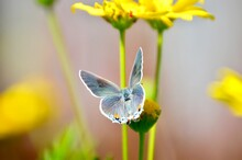 Grey Hairstreak Butterfly On Yellow Flower