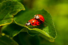 Two Ladybirds Mating On A Leaf. Harmonia Axyridis, Most Commonly Known As The Harlequin, Multicolored Asian, Or Asian Ladybeetle.