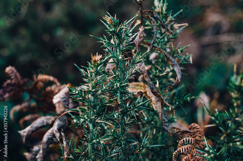 Close-up of gorse on the Isle of Arran in Scotland in October, with brown dried leaves and ferns in the background Canvas Print