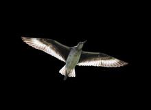 Flying Willet Black Background