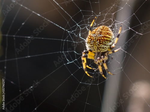Macro shot of a scary and poisonous black and yellow patterned spider on it's sp Canvas Print