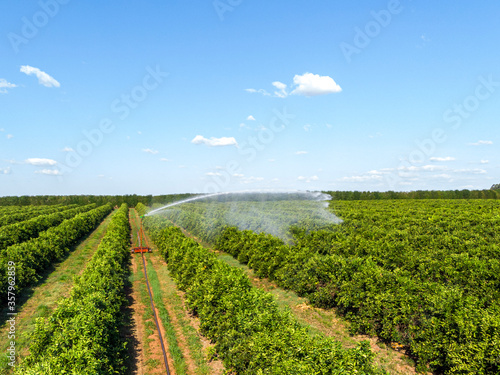 Fotomural Irrigation in orange plantation on sunny day in Brazil