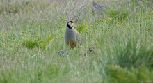Chukar Bird In Field.