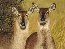 Closeup Shot Of Two Deers With...