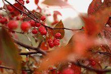 Rain On Red Berries