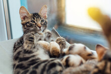 Cute Charcoal Bengal Kitty Cat...