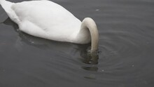 A White Swan Searching For Foo...