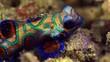 Mating Mandarin Fish baby Lembeh Indonesia 4k 25fps