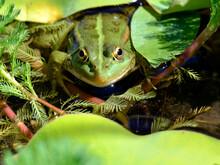 Closeup Of Edible Frog (Peloph...
