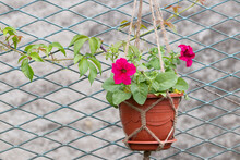 Bright Hot Pink Petunia Flower In A Flower Pot And Woven Macrame Planters Hanging On A Honeycomb Metal Fence
