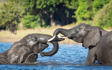 Two Elephants Playing In Water...