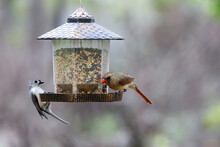 A Tufted Titmouse And Northern...