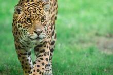 Jaguar Walking In The Jungle