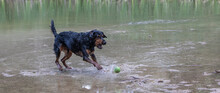 A Mix Of Rottweilers With Anot...