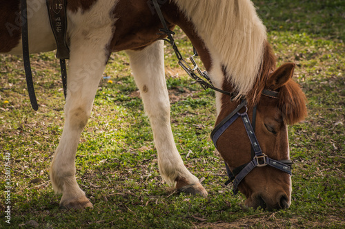 A beautiful farm horse grazing.