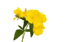 Evening Primrose Flower Isolated