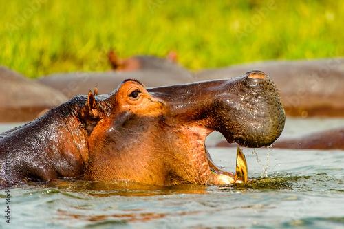 It's Hippopotamus in the river in Uganda, Africa Wallpaper Mural