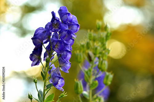 Photo Close-up of bloom of Aconitum napellus also known as aconite, monkshood, wolf's-