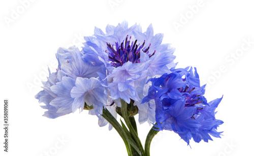 cornflowers flowers isolated Canvas Print