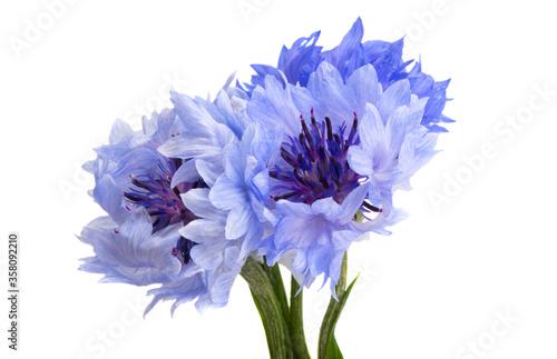 Photo cornflowers flowers isolated