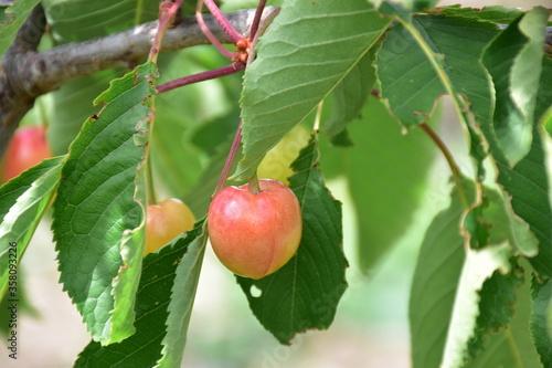 Ciliegia (Prunus avium) durante la raccolta, Sicilia Canvas Print