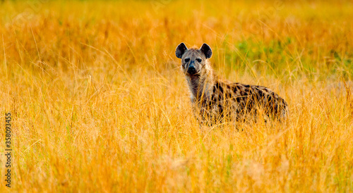 Fotografia, Obraz It's African spot hyena in Uganda