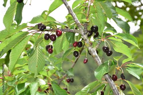 Photo Ciliegie mature (Prunus avium) sull' albero, Sicilia