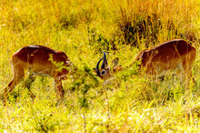 It's Two Antelopes Fight In Uganda