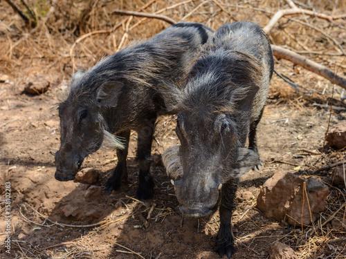 Cuadros en Lienzo Animals in Senegal