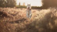 Isolated Happy Siberian Husky ...