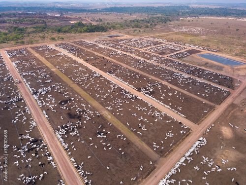 Aerial drone view of many oxen grazing on sunny summer day on feedlot cattle farm in Amazon, Para, Brazil Poster Mural XXL