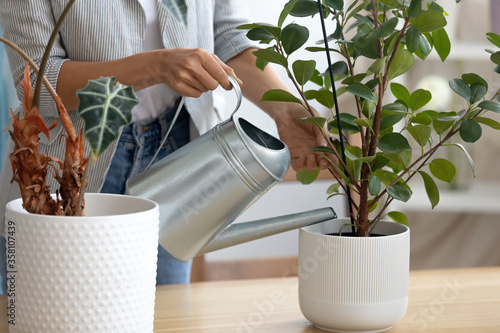 Fototapeta Close up of woman hold pot watering green house plant at home or office, housewi