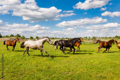 Fototapeta Herd of horses is running on the pasture in the summertime obraz