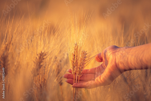 Photo A young woman's hand touching some ear of corns in a wheat field
