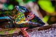 It's Close up of a chameleon of Madagascar