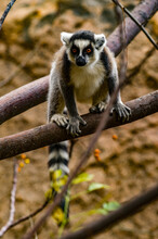 It's Ring-tailed Lemur Portrait In Madagascar, Africa