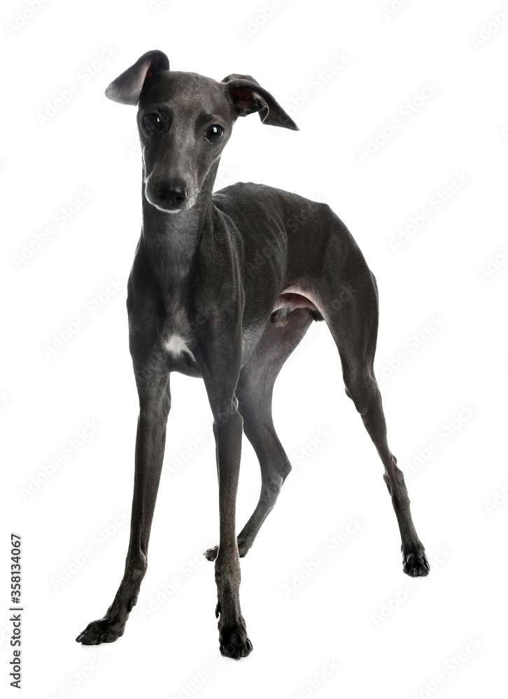 Cute Italian Greyhound dog on white background