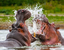 It's Husband And Wiife Hippopotamus Have A Big Fight In Kenya