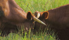 Two Red Angus Cattle Fighting ...
