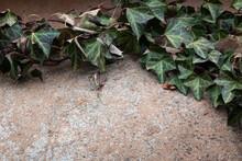Round Granite Rock Background Fringed In Dark Green English Ivy, Creative Copy Space, Horizontal Aspect
