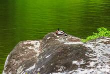 Wild Duck Resting On A Rock Ne...