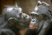 One Bonobo Kissing Another On The Cheek