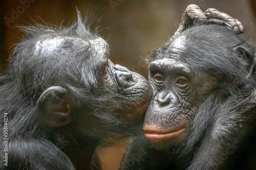 Canvas Print Two monkies in love hugging and kissing each other