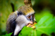It's Little Monkey (Cercopithecus Mona) Eats A Babana In Ghana
