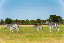 It's Zebras Flock In The Morem...