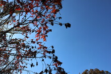Bright Red Fall Leaves Are Bac...