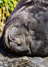 Atlantic Fur Seal Sleeps Deeply.