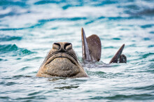 It's Elephant Seal Swims In Th...