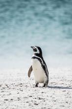 It's Little Penguin On The Sho...