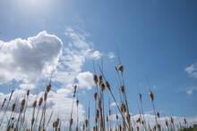 Cattails Against Blue Sky Back...
